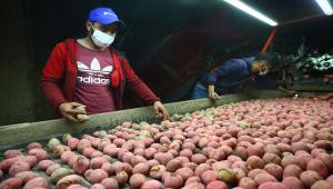 GRAFİKLİ - Türkiye'nin patates tohum ihtiyacının yarısından fazlası yerli tohumla karşılanıyor