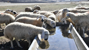 Kayseri Büyükşehir Belediyesi 55 aileye 1100 damızlık koyun ve koç dağıtacak